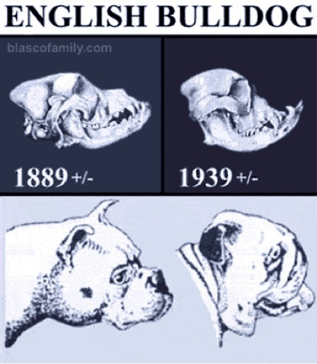 ... standard across fifty years. Illustration from Blasco Family Bulldogs